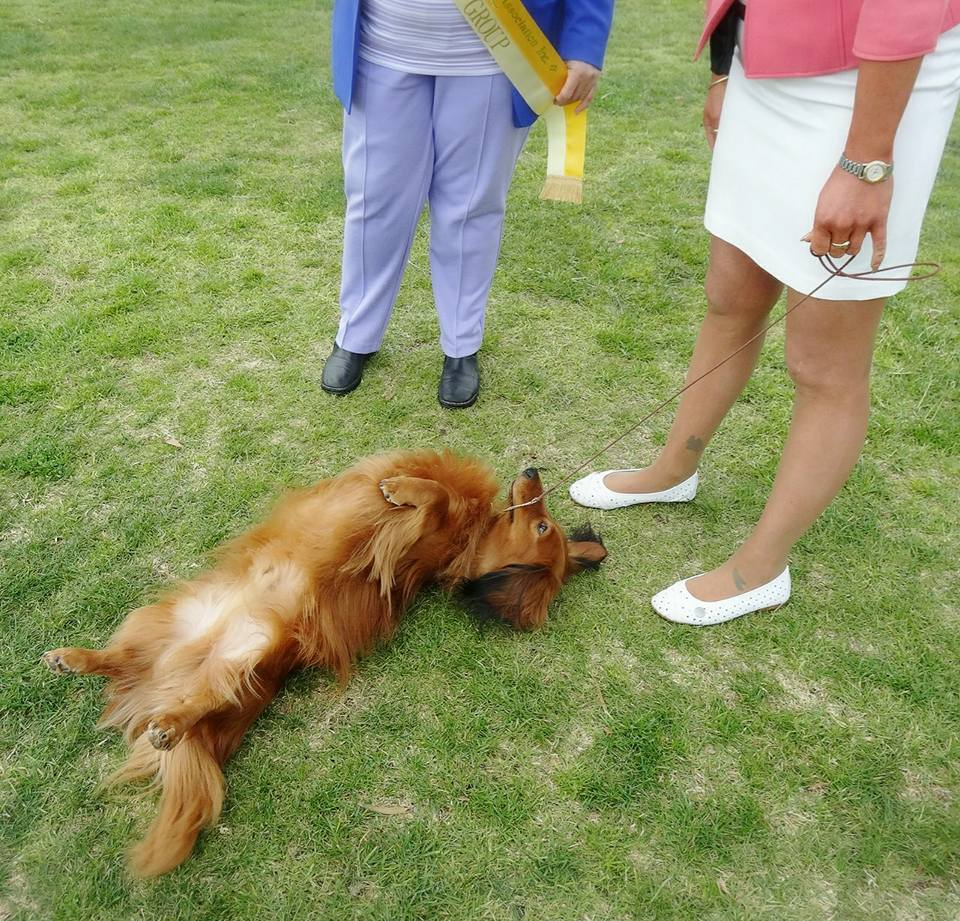 'Ringo' came out to play as well winning a fabulous Best Intermediate in Show at the 84th Novocastrian Dachshund Club championship show!