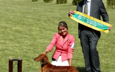 'Jimmy' Wins Best in Show at The 84th Novocastrian Dachshund Club Show!